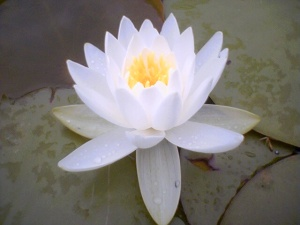 lotus_flower 2
